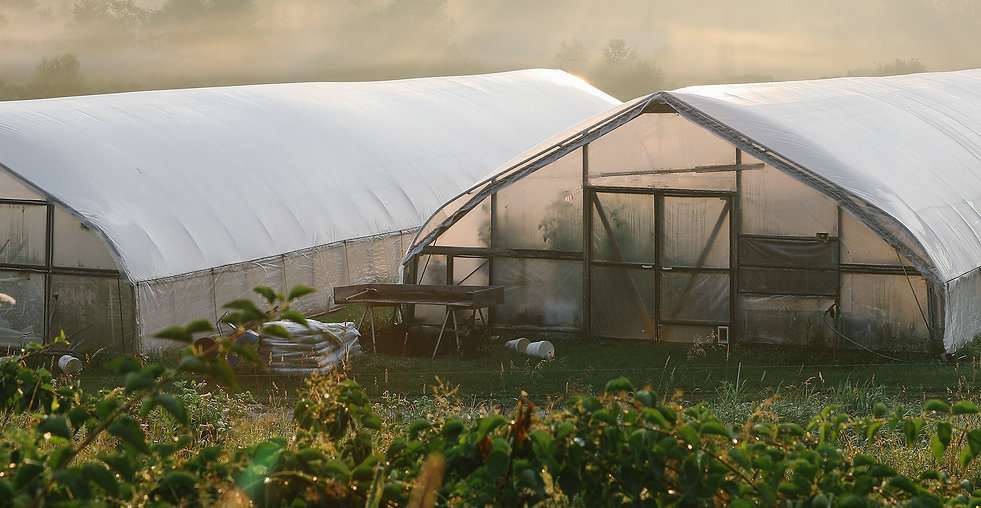Two greenhouses on the farm in the mist with tomatoes inside