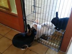 Pension lapins Dijon.jpg