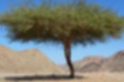 mustard tree.jpg