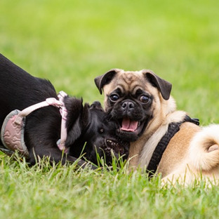 Fawn and black pug puppies playing dog photography