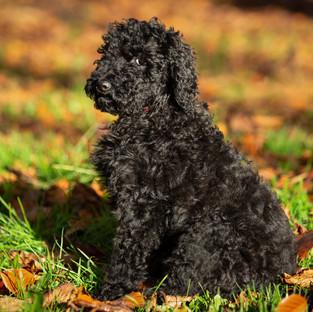 Standard poodle photography lamb cut dog