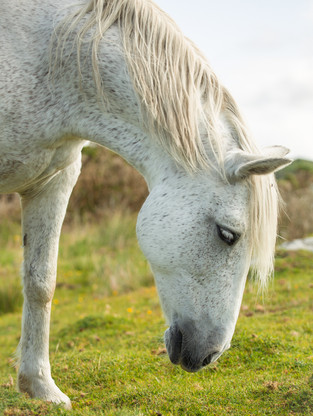 Flea bitten grey horse connemara pony Equine Photography