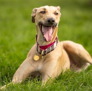 Greyhound photography art Northern Ireland