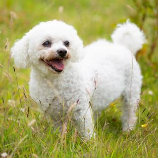Bichon Frise photography dog