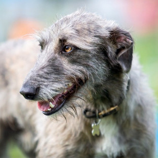 Deerhound dog photography
