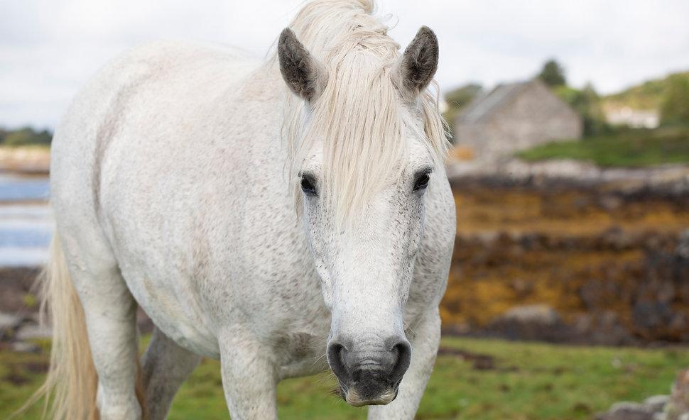 Flea bitten grey connemara horse pony ireland photograph