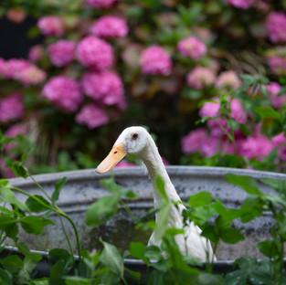 Runner duck pet photography