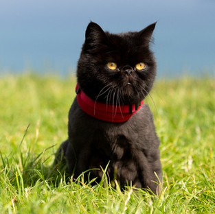 Exotic shorthair on lead cats on leads cat pet photography