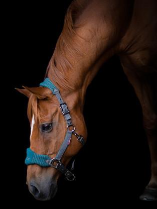 Chestnut horse black background photography