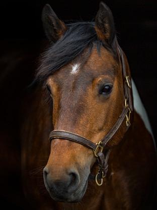 coloured pony northern ireland equine