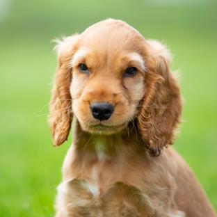 Cocker spaniel photography dog