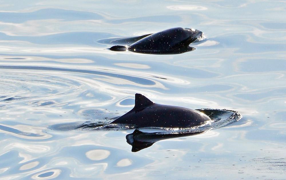 Shy Harbour Porpoises by John Williams