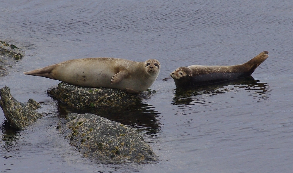 Common Seals by Phil Keetley