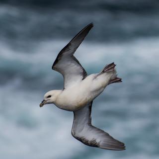 Freedom of a Fulmar in flight