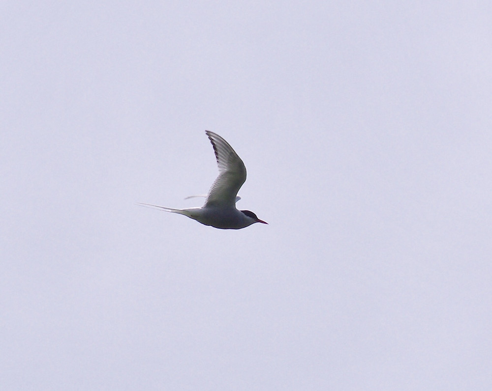 Unmistakable shape of Artic Tern