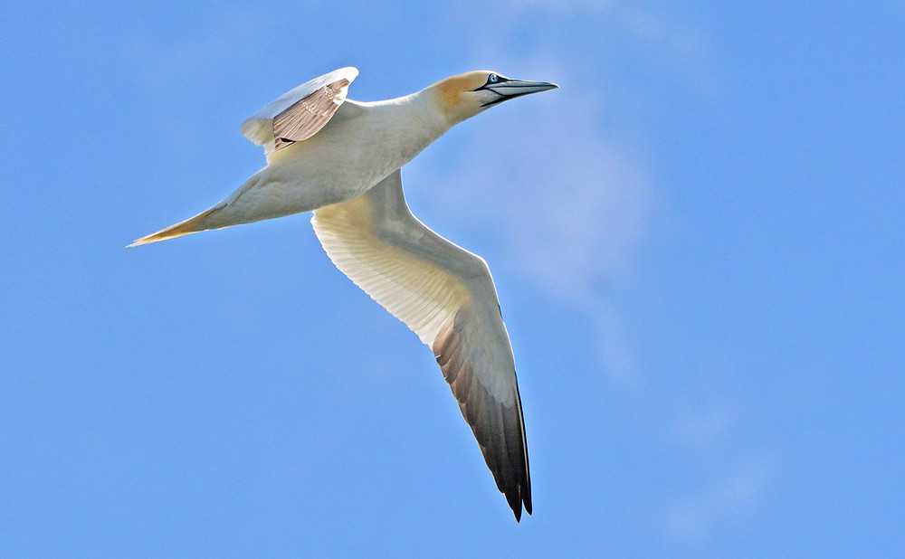 Stunning Gannet by John Williams