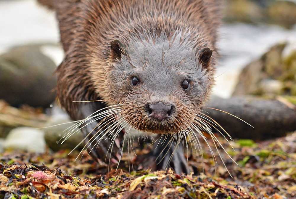 Curious Otter by John Williams
