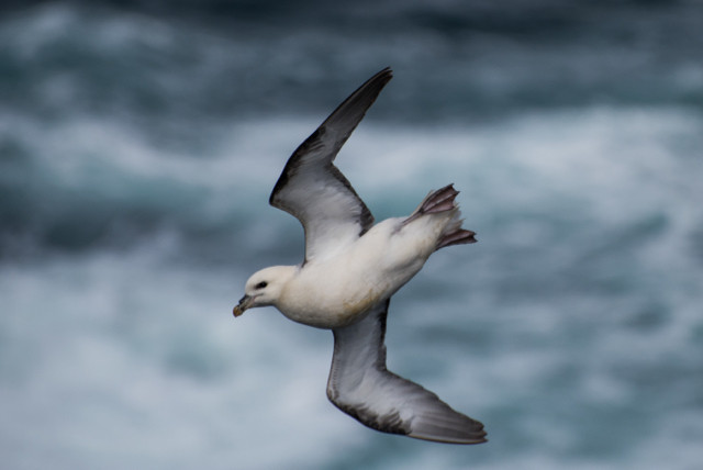 Gliding Fulmar by Alan de Rollo