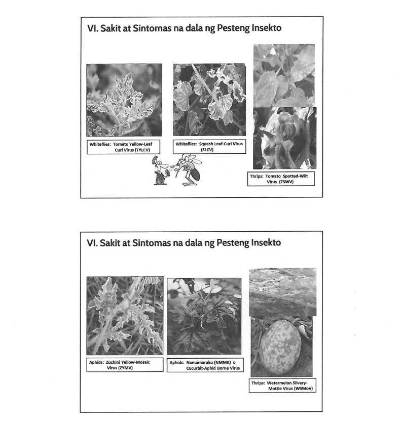 Pagkilala, Pamamahala at Pagsugpo sa mga Mahahalagang Pesteng Insekto ng Gulayjpg_Page4_Image1