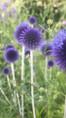 Echinops ritro 'Veitch blue'