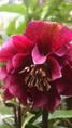 Helleborus orientalis double