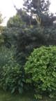 Topiaire de chêne sessile (Quercus sessiliflora)