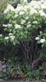 Massif du bambou doré avec l'hydrangea paniculata 'Lime light'