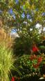 Miscanthus sinensis 'Grosse fontäne' à gauche et fuschia 'Chenois Godelieve' à droite