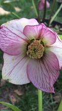 Helleborus orientalis 'picotee'
