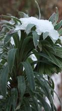 Euphorbia wulfenii sous la neige