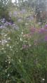 massifs d'asters dans le labyrinthe fleuri