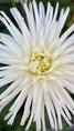 Dalhia cactus