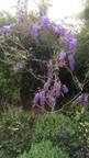 Glycine de chine (wisteria chinensis)