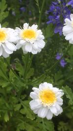 Grande camomille double (Tanacetum parthenium 'flore plenum')