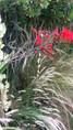 Crocosmia Lucifer sur fond de melica ciliata et de stipa tenuifolia