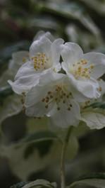Seringa variegata