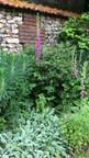 Digitale pourpre (Digitalis purpurea) en compagnie d'une Euphorbe (Euphorbia characias 'Wulfenii')