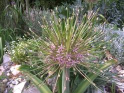 Allium schumberti