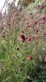 Sanguisorba tenuifolia 'Arnhem'