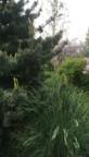 Pinus paviflora et Poa labillardii