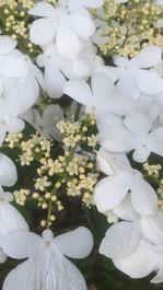 Viburnum plicatum 'watanabe'