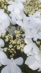 Wiburnum plicatum 'watanabe'