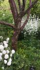 Massif du Cerisier à écorce (Prunus serrula x serrulata)