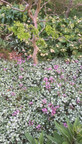 Lamium maculatum 'beacon silver' sous un robinier tortueux (Robinia pseudoacacia 'twisty baby'
