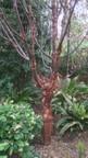 Acer griseum, helleborus orientalis et asplenium scolopendrium