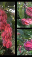 fruits de magnolia soulageana 'Jenny'