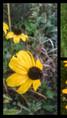 Rudbeckia triloba à gauche, Rudbeckia subtomentosa 'Henry Eilers' en haut à droite, Rudbeckia fulgida 'Goldsturm'