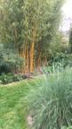 Poa labillardi au premier plan à droite et bambou doré (phyllostachys aureosulcata 'aureocaulis') au deuxième plan.