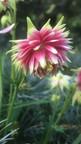 Ancolie : Aquilegia vulgaris 'Nora Barlow'