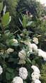 Hydrangea arborescens Annabelle et quelques tiges d'impatiens de l'himalaya